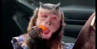 Обезьянка смешно поедает фрукты - видео