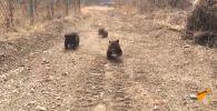 Медвежата вышли на прогулку - забавное видео