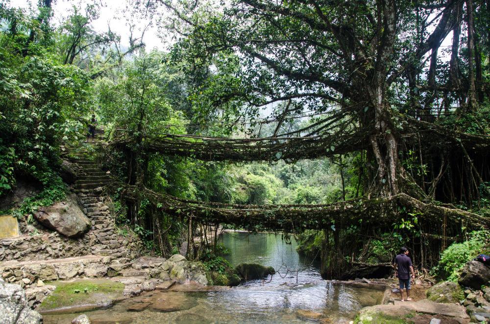 Двухэтажный растительный мост в Индии.