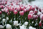 Тюльпаны под снегом