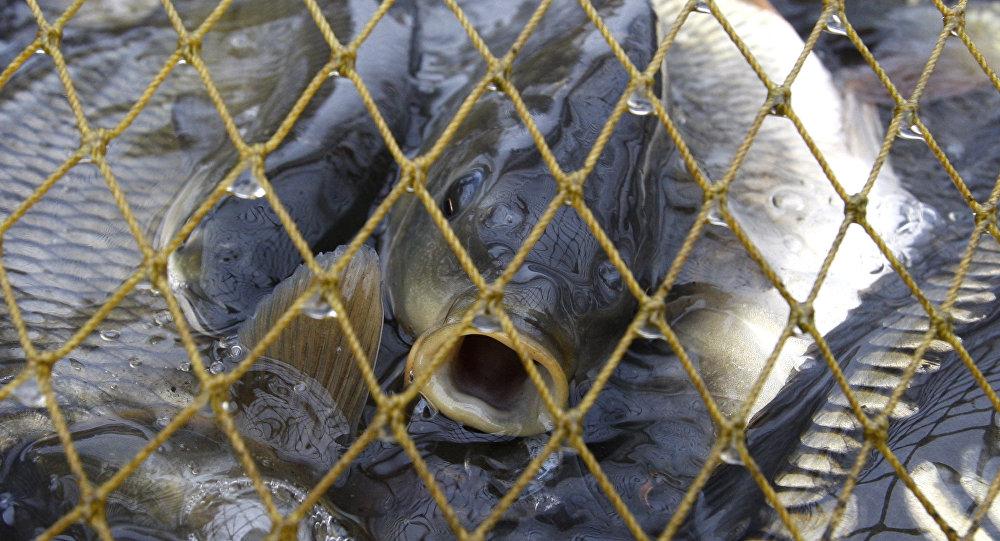 Архивное фото рыбы карп