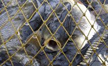 Рыба карп. Архивное фото - рекадр