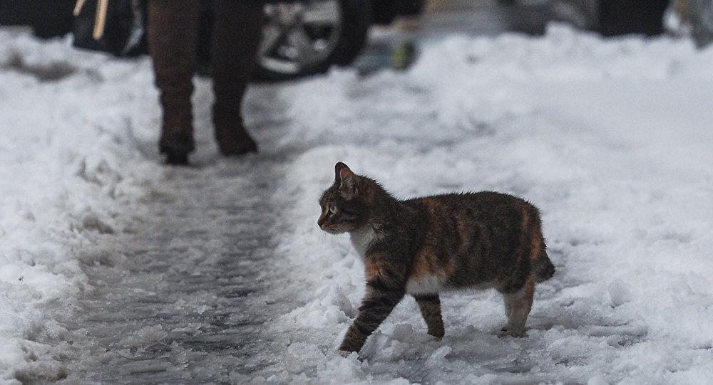 Архивное фото кошки, гуляющей по тающему снегу
