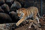 Амурский тигр, архивное фото