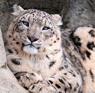 Снежный барс в Алматинском зоопарке