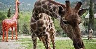 Архивное фото жирафа