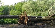 Поваленные деревья. Архивное фото.