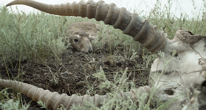 Сайгак лежит в траве неподалеку от останков другого сайгака.