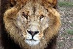 Лев. Иллюстративное фото