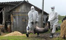 Гибель свиней. Архивное фото - рекадр