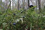 Лесные ягоды. Архивное фото - рекадр
