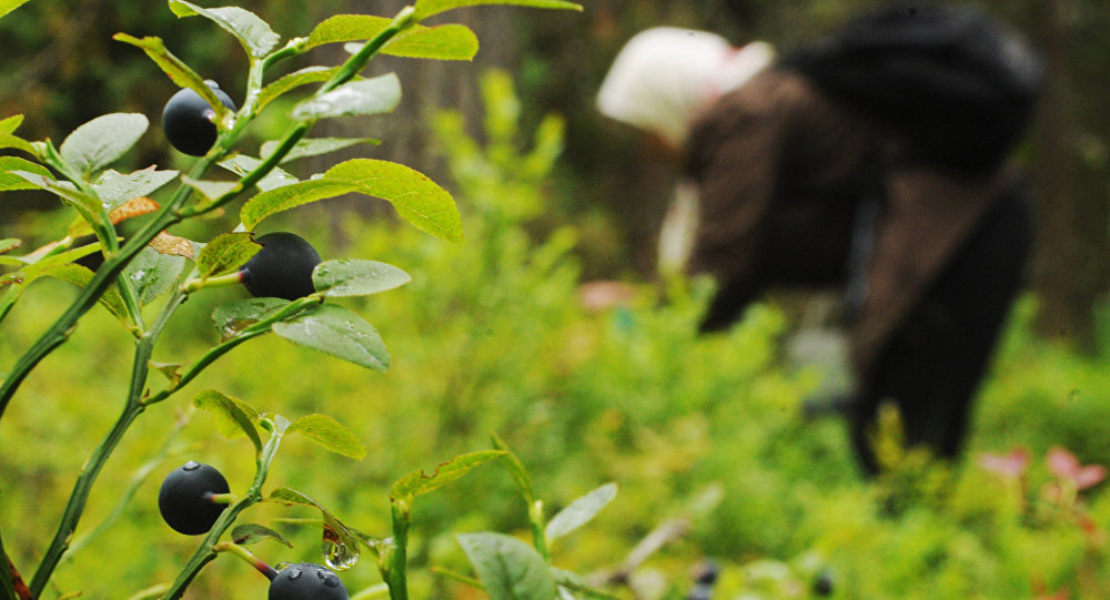 Сбор ягод в лесу. Архивное фото - рекадр