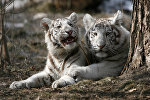 Бенгальский тигр. Архивное фото