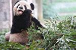 Панда.