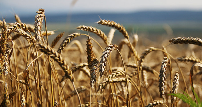 Пшеница. Архивное фото